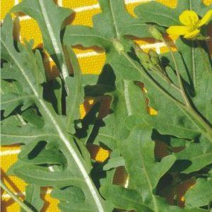 Rúcula Silvestre baby leaf