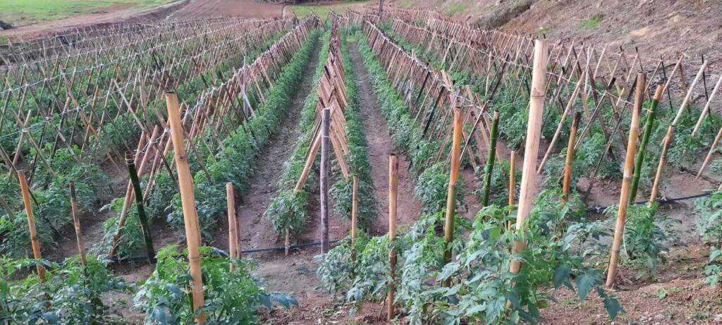 produção de tomates conduzidos em cerca cruzada