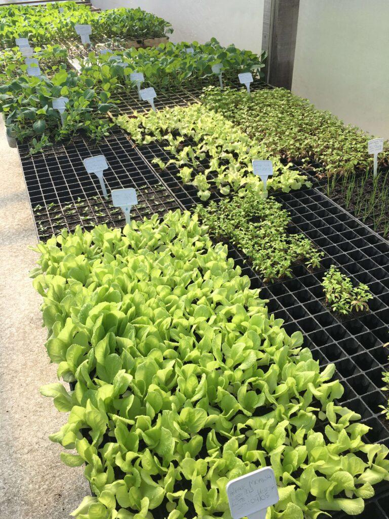 Mudas de hortaliças cultivadas em bandejas