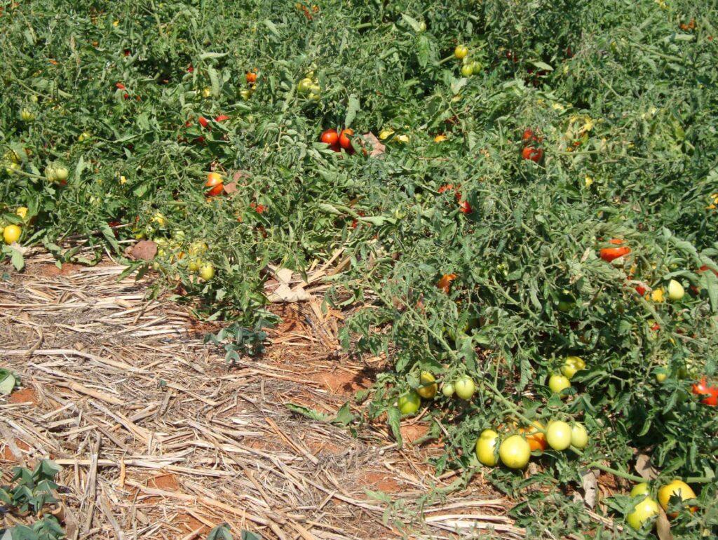 tutoramento do tomateiro com palhada
