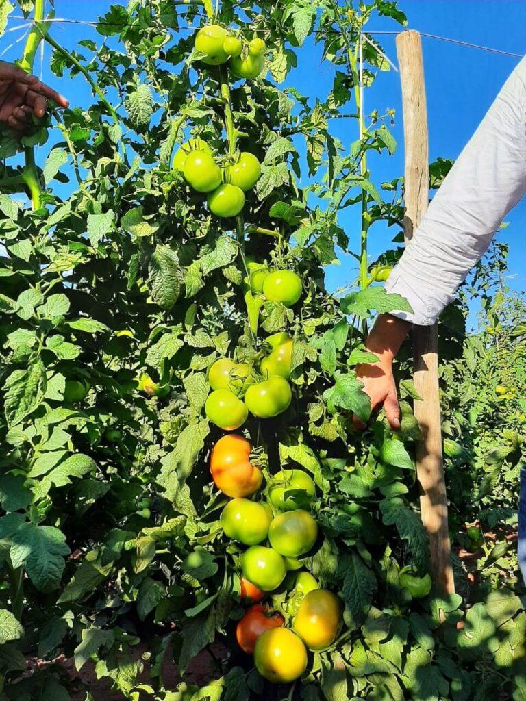tomateiro tutorado com fitilho em campo aberto