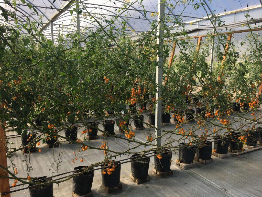 tomate catânia conduzido em carrossel holandês na estação experimental da ISLA
