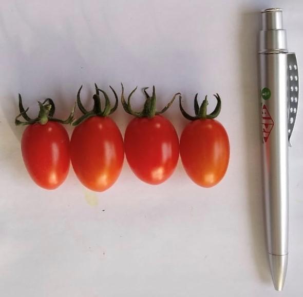 mini tomates dolcetto em perspectiva
