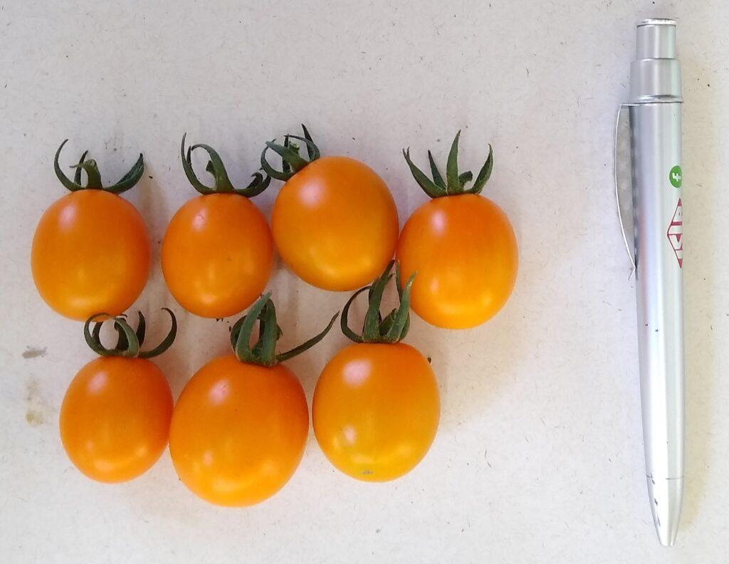 mini tomates catânia