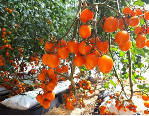 tomate catania