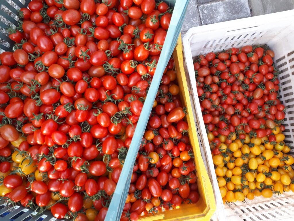 produção de diversos mini tomates