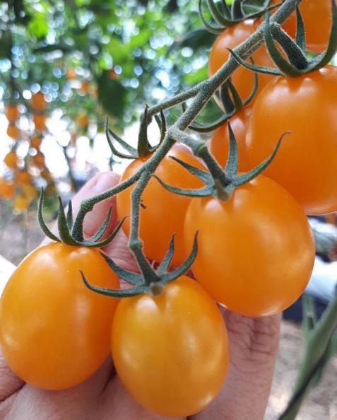 tomate sicilia