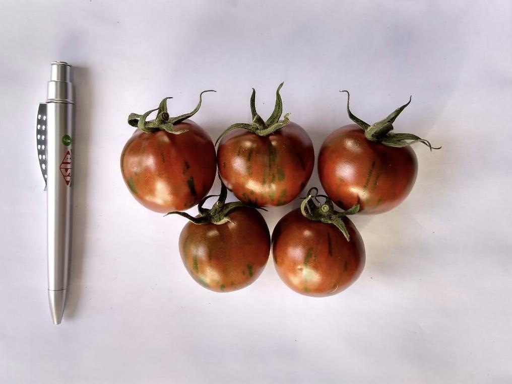 tomate tigre em prespectiva