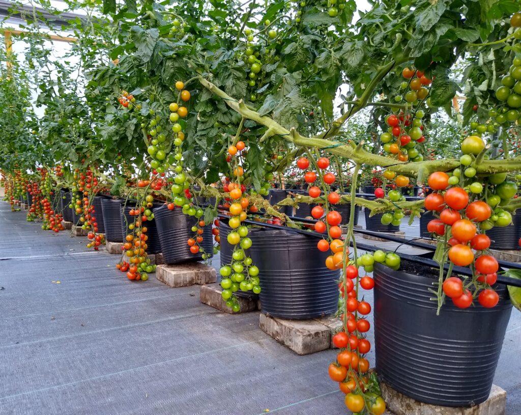 podução de tomate wanda em estufa
