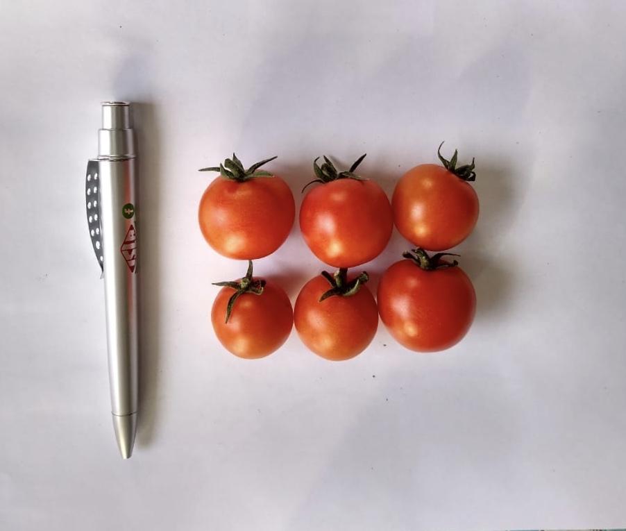 tomate wanda em perspectiva