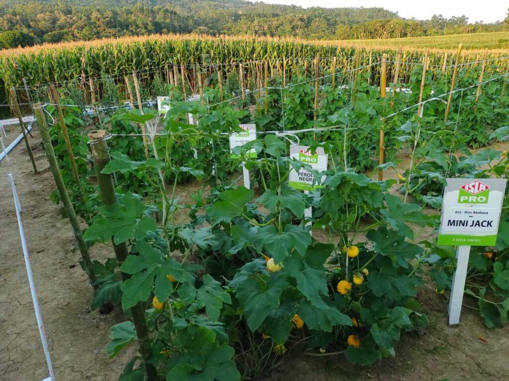 Mesmo com chuva intensa, sementes da ISLA desempenham muito bem para o evento da Cooperativa Cravil em Santa Catarina.