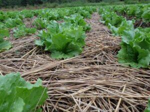 Cultivo de alface sobre cobertura vegetal.